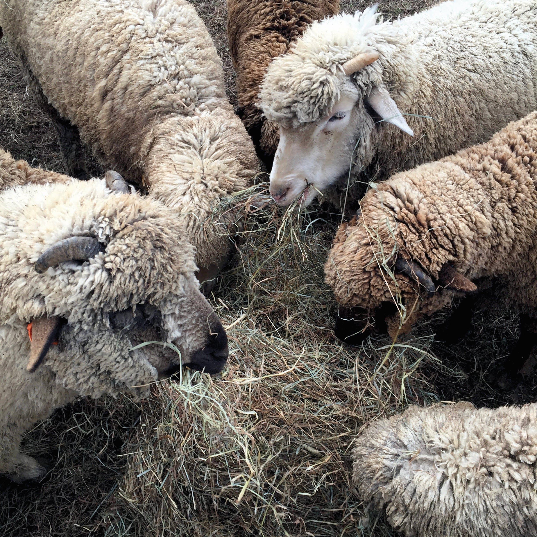 Several sheep eat hay