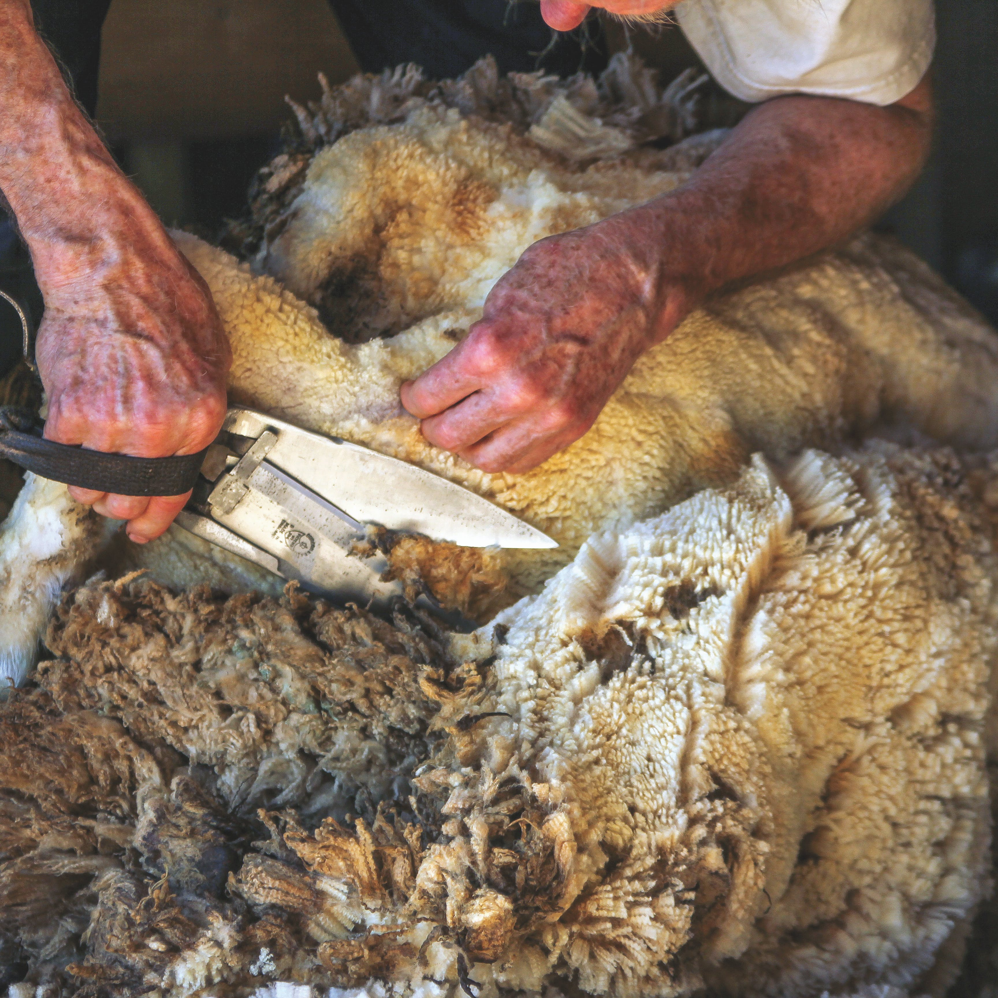 Close-up of sheep being sheared with hand scissors