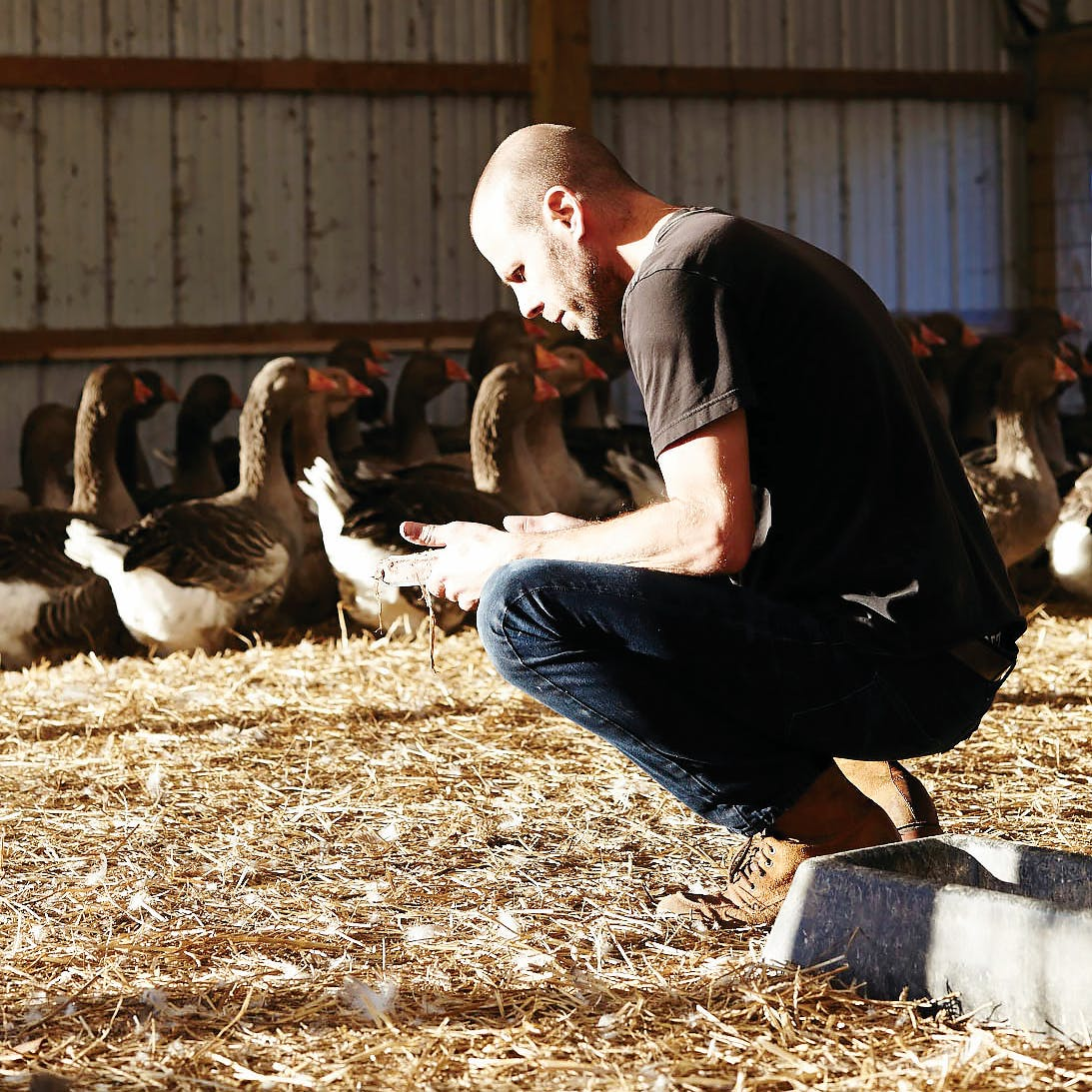 Sunlit man crouching in a barn with geese